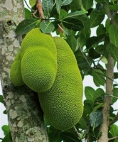 بذر درخت jackfruit