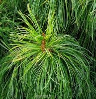بذر درخت کاج کره ای Korean pine