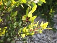 بذر درخت صابون Noltea africana