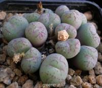 بذر کاکتوس قطره ای Conophytum uviforme