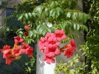 بذر پیچ اناری Campsis radicans