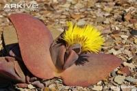 بذر ساکولنت لیتوپس بالدار cheiridopsis peculiaris