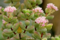 بذر  ساکولنت کراسولا دیجکتا crassula dejecta