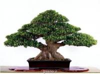بذر درخت انجیر هندی Ficus benghalensis