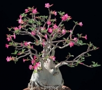 بذر آدنیوم اوبسیوم Adenium obesum