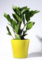 بذر گل جواهر زنگبار Zamioculcas zamiifolia
