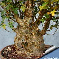 بذر بونسای فیل معطر Bursera fagaroides