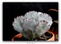 بسته 300 عددی بذر ساکولنت تاج نقره ای COTYLEDON orbiculata v undulata