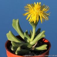 بسته 100 عددی بذر ساکولنت تبری  Rhombophyllum dolabriforme