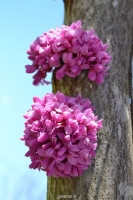 درختچه ارغوان کانادایی  Cercis canadensis