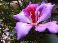 بذر درخت ارکیده هنگ کنگ بنفش bauhinia purpurea