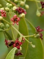 بذر درخت معطر صندل  santalum album