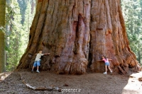 بذر درخت غول Sequoiadendron giganteum