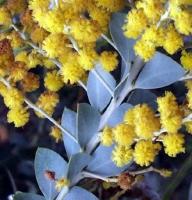 بذر آکاسیا برگ خنجری Acacia cultriformis