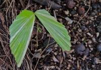 بذر نخل دم ماهی  fishtail palm