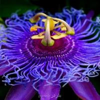 بذر پیچ گل ساعتی passionfruit