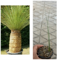 گیاه ساکولنت علف مکزیکی Dasylirion longisissimum