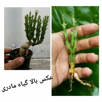 گیاه افوربیا کنوتی euphorbia knuthii