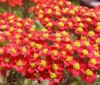 بذر گل بومادران قرمز red yarrow