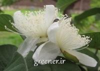 بذر میوه گوآوا توسرخ Red guava