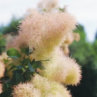 بذر بونسای درخت پر Cotinus coggygria