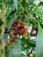 درخت آکاسیا برگ گوشی Acacia auriculiformis
