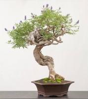بذر درختچه بونسای پنج انگشت vitex
