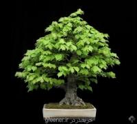 بذر بونسای درخت نمدار tilia cordasa