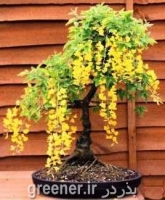 بذر درختچه باران طلایی golden rain
