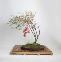 بذر درختچه بامبوی بهشت heavenly bamboo