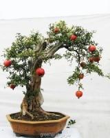 بذر درختچه انار زینتی punica granatum