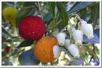 بذر درختچه آربوتوس arbutus unedo