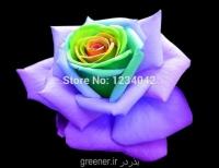 بذر رزآبی درون زرد blue rose yellow heart