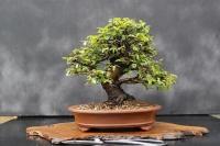 بسته 100 عددی بذر بونسای نارون چینی Ulmus parvifolia