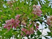 بذر درخت گلیریسیدیا سپیوم  Gliricidia sepium