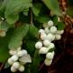 بذر مروارید سفید درختی snow berry