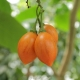 بذردرخت گوجه Tamarillo