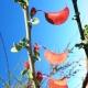 بذر درختچه برگ پروانه ای Adenolobus gariepensis