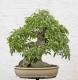بذر داغداغان  celtis australis