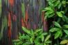 بذر درخت اکالیپتوس رنگین کمانی rainbow eucalyptus