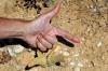 بذر کاکتوس انگشت dactylopsis digitata