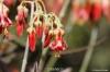 بذر ساکولنت گوش خوکی  Cotyledon barbeyi