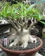 بذر آدنیوم اربیکم Adenium arabicum