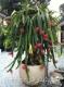 بذرمیوه اژدهای قرمزوسفید dragon fruit