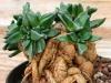 بذر ساکولنت ناناتوس  NANANTHUS aloides