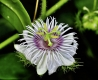 بذر گل ساعتی مینیاتوری mini passion fruit