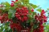 درختچه افرای تارتار Acer tataricum