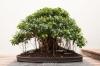 بذر انجیر برگ ریز Ficus obliqua