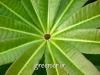 بذر درخت تخته سیاه Alstonia scholaris