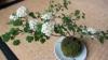 بذر بونسای japanese hawthorn